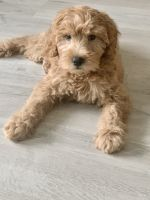 Golden Doodle Puppies for sale in Bellevue, WA, USA. price: NA