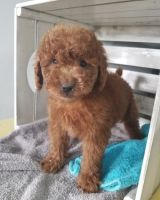 Golden Doodle Puppies for sale in Lawrenceville, GA, USA. price: NA