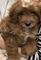 Golden Doodle Puppies for sale in Platte City, MO 64079, USA. price: NA