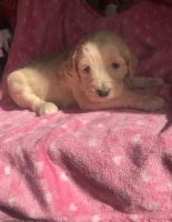 Golden Doodle Puppies for sale in Gaffney, SC, USA. price: NA