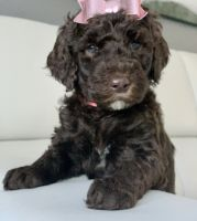 Golden Doodle Puppies for sale in Kissimmee, FL, USA. price: NA