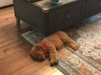 Golden Doodle Puppies for sale in Nashville, TN, USA. price: NA