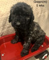 Golden Doodle Puppies for sale in Elbert, CO 80106, USA. price: NA