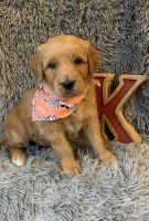 Golden Doodle Puppies for sale in Henderson, KY 42420, USA. price: NA
