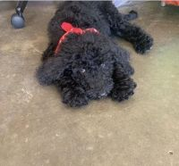 Golden Doodle Puppies for sale in Reynolds, IN 47980, USA. price: NA