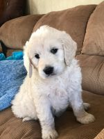 Golden Doodle Puppies for sale in Mt Sterling, KY 40353, USA. price: NA