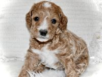 Golden Doodle Puppies for sale in Queen Creek, AZ, USA. price: NA