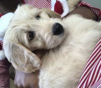 Golden Doodle Puppies for sale in McCalla, AL 35111, USA. price: NA