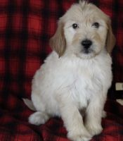 Golden Doodle Puppies for sale in Clifton, KS 66937, USA. price: NA