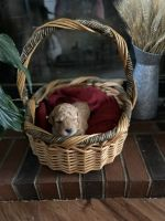 Golden Doodle Puppies for sale in Angier, NC 27501, USA. price: NA