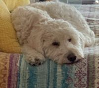 Golden Doodle Puppies for sale in Bastrop, TX 78602, USA. price: NA