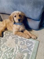Golden Doodle Puppies for sale in Knoxville, TN, USA. price: NA