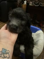 Golden Doodle Puppies for sale in Martinsburg, PA 16662, USA. price: NA