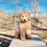 Golden Doodle Puppies for sale in New Haven, CT, USA. price: NA