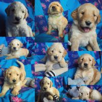 Golden Doodle Puppies for sale in Fergus Falls, MN 56537, USA. price: NA