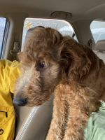 Golden Doodle Puppies for sale in Cortland, NY 13045, USA. price: NA