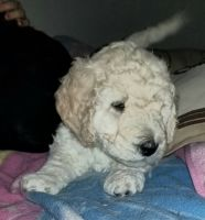 Golden Doodle Puppies for sale in Seymour, CT, USA. price: NA