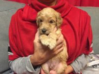 Golden Doodle Puppies for sale in Panama City Beach, FL, USA. price: NA
