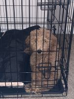 Golden Doodle Puppies for sale in 1810 Caroline Ave, Junction City, KS 66441, USA. price: NA