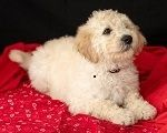 Golden Doodle Puppies for sale in Danville, CA, USA. price: NA