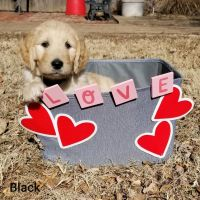 Golden Doodle Puppies for sale in Stafford, KS 67578, USA. price: NA