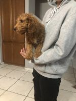 Golden Doodle Puppies for sale in Las Vegas, NV 89139, USA. price: NA