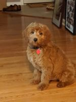 Golden Doodle Puppies for sale in Glyndon, MD 21136, USA. price: NA