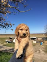 Golden Doodle Puppies for sale in Winton, CA 95388, USA. price: NA