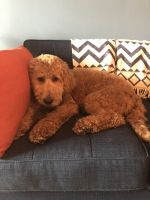 Golden Doodle Puppies for sale in Jersey City, NJ, USA. price: NA