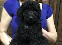 Golden Doodle Puppies for sale in Lexington, NC, USA. price: NA