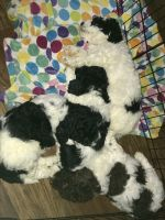Golden Doodle Puppies for sale in Springport, MI 49284, USA. price: NA