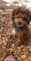 Golden Doodle Puppies for sale in Colorado Springs, CO, USA. price: NA