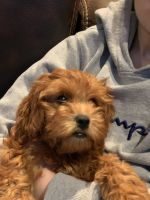 Golden Doodle Puppies for sale in Nanuet, NY, USA. price: NA
