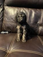 Golden Doodle Puppies for sale in Finlayson, MN 55735, USA. price: NA