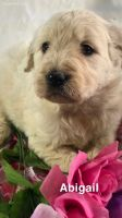 Golden Doodle Puppies for sale in Hartville, MO 65667, USA. price: NA