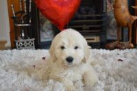 Golden Doodle Puppies for sale in Los Angeles, CA, USA. price: NA