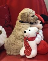 Golden Doodle Puppies for sale in Berea, KY, USA. price: NA