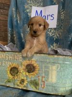 Golden Doodle Puppies for sale in 4100 Prairie Ronde Hwy, Opelousas, LA 70570, USA. price: NA