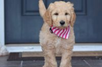 Golden Doodle Puppies for sale in New Bern, NC, USA. price: NA