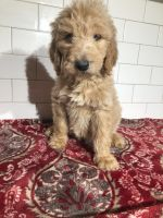 Golden Doodle Puppies for sale in Chicago, IL, USA. price: NA