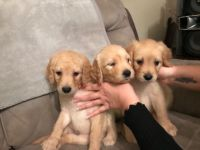 Golden Doodle Puppies for sale in Indianapolis, IN, USA. price: NA