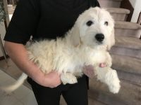 Golden Doodle Puppies for sale in Castle Rock, CO, USA. price: NA