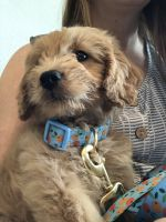 Golden Doodle Puppies for sale in Celebration, FL 34747, USA. price: NA