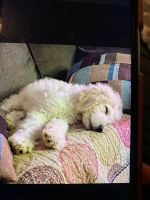Golden Doodle Puppies for sale in Fishers, IN 46037, USA. price: NA
