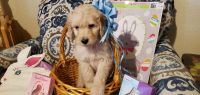 Golden Doodle Puppies for sale in San Antonio, TX 78245, USA. price: NA