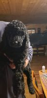 Golden Doodle Puppies for sale in Rome, NY, USA. price: NA