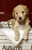 Golden Doodle Puppies for sale in Sumner, MI 48889, USA. price: NA