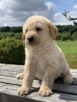 Golden Doodle Puppies for sale in Columbia, SC, USA. price: NA