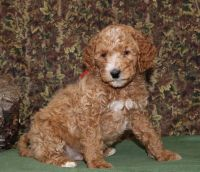 Golden Doodle Puppies for sale in Decorah, IA 52101, USA. price: NA