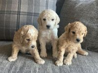 Golden Doodle Puppies for sale in Columbus, OH, USA. price: NA
